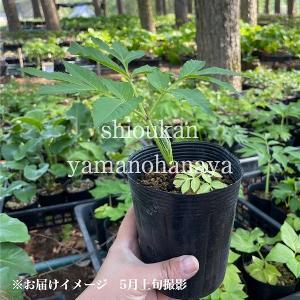 エゾニュウサク 10.5cmポット苗 山菜苗|shioukan-hanaya|02