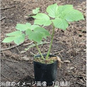 エゾニュウサク 10.5cmポット苗 山菜苗|shioukan-hanaya|03