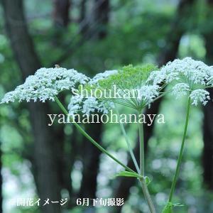 エゾニュウサク 10.5cmポット苗 山菜苗|shioukan-hanaya|04