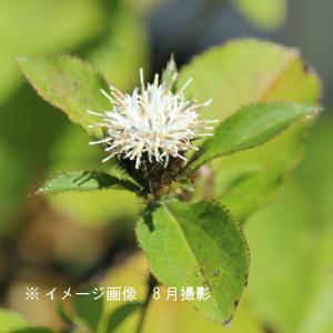 オケラ 9cmポット苗 山菜苗 |shioukan-hanaya