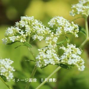 オトコエシ 9cmポット仮植え苗 山野草 |shioukan-hanaya