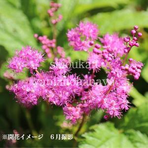 キョウカノコ 桃花 9cmポット苗 山野草 |shioukan-hanaya