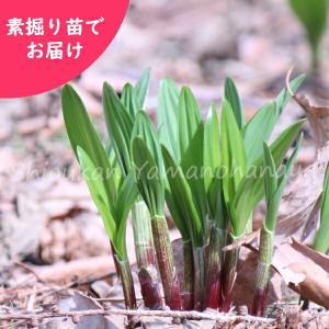 ギョウジャニンニク 5株 山菜苗sale