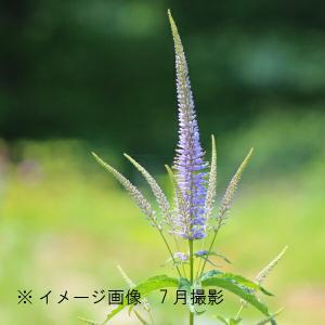 クガイソウ 9cmポット苗 山野草 |shioukan-hanaya