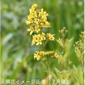 クサレダマ 9cmポット苗 山野草