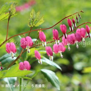 ケマンソウ(タイツリソウ) 桃花 9cmポット仮植え苗 山野草|shioukan-hanaya