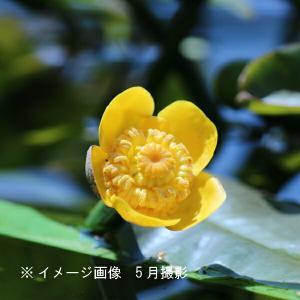 コウホネ 10.5cmポット仮植え苗|shioukan-hanaya