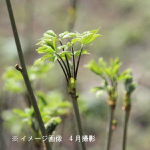 コシアブラ 10.5cmポット仮植え苗 山菜苗|shioukan-hanaya