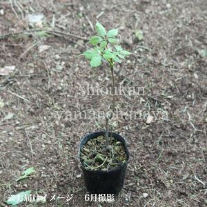 コシアブラ 10.5cmポット仮植え苗 山菜苗|shioukan-hanaya|02