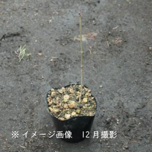 コシアブラ 10.5cmポット仮植え苗 山菜苗|shioukan-hanaya|03