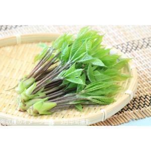コシアブラ 10.5cmポット仮植え苗 山菜苗|shioukan-hanaya|04