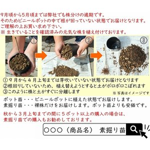 コシアブラ 10.5cmポット仮植え苗 山菜苗|shioukan-hanaya|05