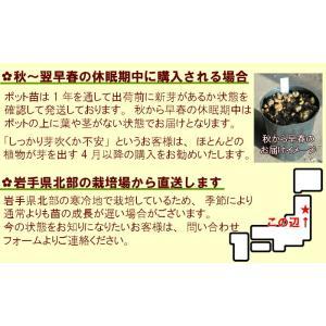 コシアブラ 10.5cmポット仮植え苗 山菜苗|shioukan-hanaya|06