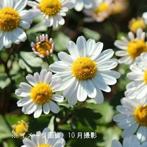 コハマギク 9cmポット苗 山野草 |shioukan-hanaya