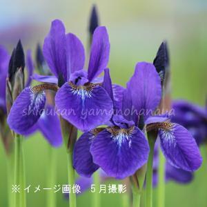 サキガケアヤメ 10.5cmポット苗 山野草 |shioukan-hanaya