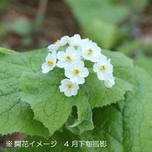 サンカヨウ 10.5cmポット仮植え苗 山野草|shioukan-hanaya