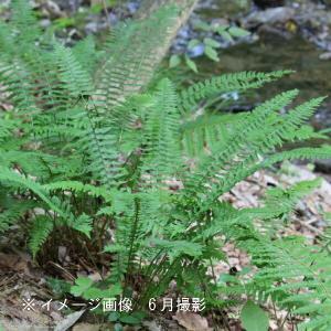 ジュウモンジシダ 10.5cmポット仮植え苗100ポットセット|shioukan-hanaya