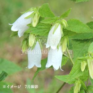 ホタルブクロ 白花 9cmポット苗 山野草  |shioukan-hanaya