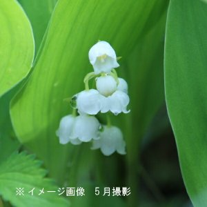 日本スズラン 9cmポット苗 山野草|shioukan-hanaya