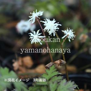 セリバオウレン 9cmポット苗40ポット1ケース 山野草|shioukan-hanaya