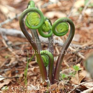 ゼンマイ 10.5cmポット仮植え苗 山菜苗|shioukan-hanaya
