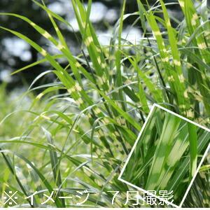 タカノハススキ 10.5cmポット苗 |shioukan-hanaya