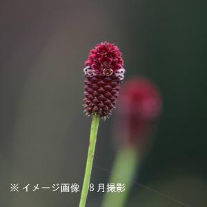 ワレモコウ タンナ 9cmポット苗 山野草 |shioukan-hanaya