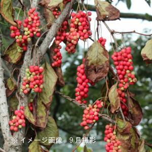 チョウセンゴミシ 10.5cmポット雌木苗|shioukan-hanaya