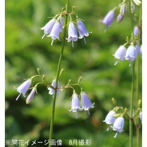 ツリガネニンジン 10.5cmポット苗 山野草 山菜苗  shioukan-hanaya