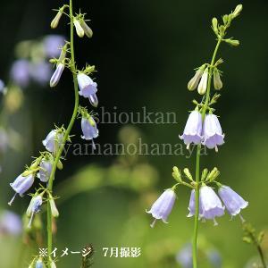 ツリガネニンジン 9cmポット苗 山野草 山菜苗 |shioukan-hanaya