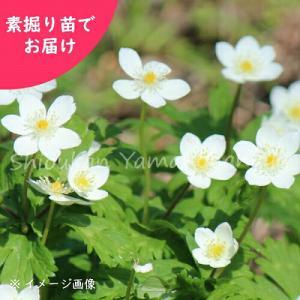 ニリンソウ 素掘り苗5株 山野草 山菜苗
