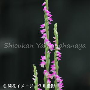 ネジバナ 7.5cmポット2株植え苗 山野草 |shioukan-hanaya