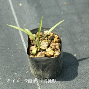 ネジバナ 7.5cmポット2株植え苗 山野草  shioukan-hanaya 02