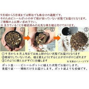 ネジバナ 7.5cmポット2株植え苗 山野草  shioukan-hanaya 03