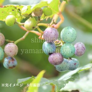 ノブドウ 10.5cmポット仮植え苗 shioukan-hanaya