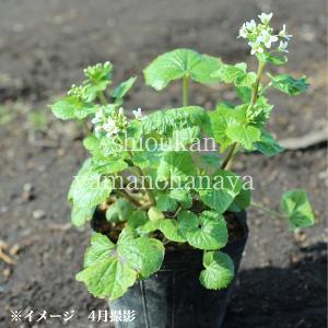 ハタケワサビ 10.5cmポット仮植え苗 山菜苗|shioukan-hanaya