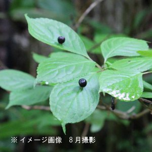 ハナイカダ 雄雌2株植え 10.5cmポット苗|shioukan-hanaya