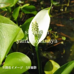 ヒメカイウ 10.5cmポット仮植え苗 山野草