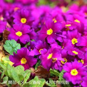 プリムラジュリアン(二段咲深山桜草) 9cmポット苗5ポットセット|shioukan-hanaya
