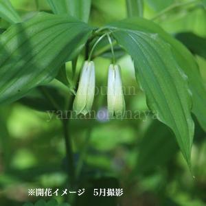 ホウチャクソウ 9cmポット苗 山野草 |shioukan-hanaya