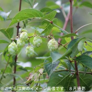 山のホップ 10.5cmポット仮植え苗10ポットセット 山菜苗|shioukan-hanaya