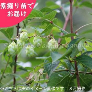 山のホップ  素掘り苗5株 山菜苗|shioukan-hanaya