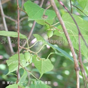 マタタビ 10.5cmポット雌木苗|shioukan-hanaya