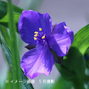 ムラサキツユクサ 紫花 9cmポット苗2ポットセット 山野草 |shioukan-hanaya