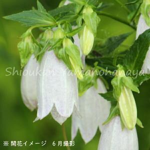 ホタルブクロ 山 9cmポット苗 山野草 |shioukan-hanaya