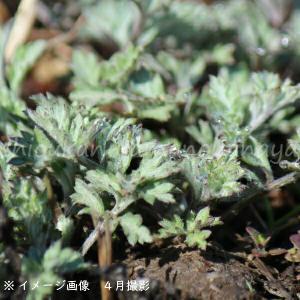 ヨモギ 9cmポット苗4ポットセット 山菜苗|shioukan-hanaya