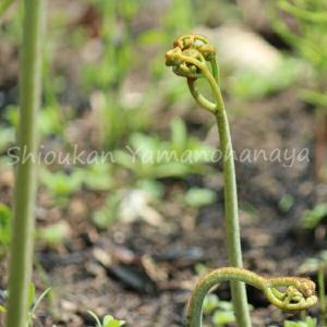 ワラビ 10.5cmポット仮植え苗 山菜苗|shioukan-hanaya