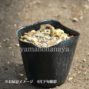 ワラビ 10.5cmポット仮植え苗 山菜苗の詳細画像1