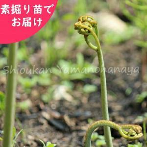 ワラビ 素掘り苗5株 山菜苗|shioukan-hanaya