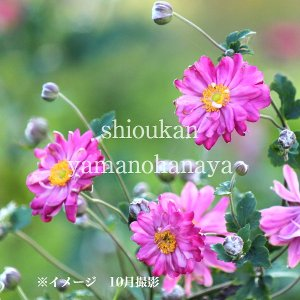 シュウメイギク 赤花八重咲き 10.5cmポット苗 |shioukan-hanaya
